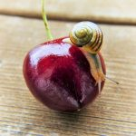 Snail crawling down a lovely cherry on a wooden surface.