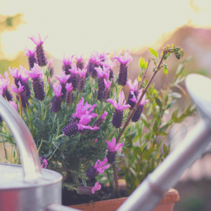A small pot of lavender with a watering can in the foreground.