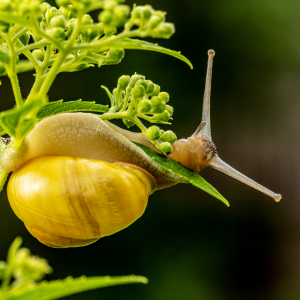 Close up of a snail with a yellow shell on a bright green plant.