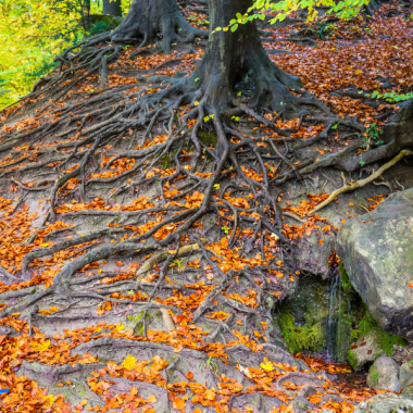 Image shows three trees with intertwined roots above the ground with autumn leaves and green foliage.
